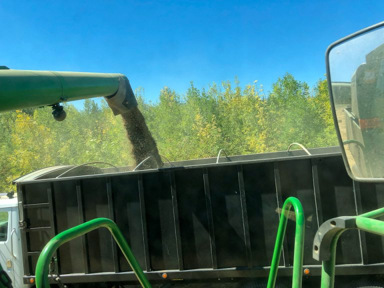 Grain harvest - grain pouring into truck.