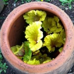 Spring rhubarb in clay pot
