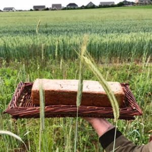Rye bread shown in local field of wheat and rye.