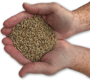Two hands holding grain